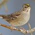 Adult winter plumage. Note: limited yellow coloration on forecrown.